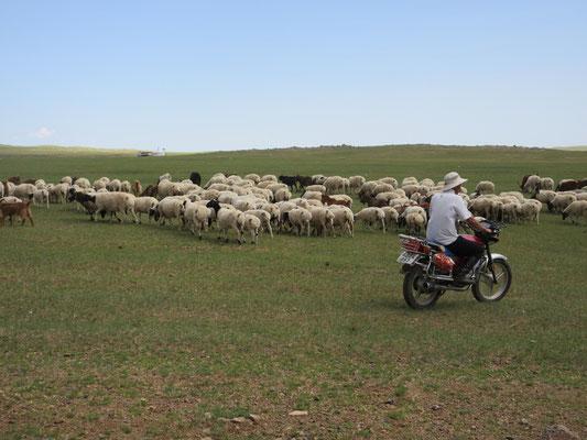 Die Nomaden treiben die Herden heute mit dem Motorrad