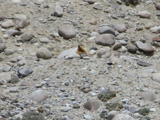 Murmeltiere sind hier weniger scheu als in der Schweiz