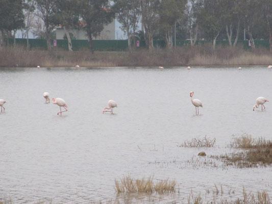 Lagune mit Flamingos an der Adria