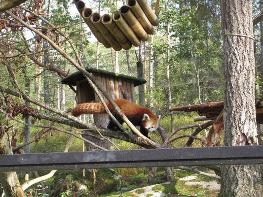 Der braune Panda ist viel kleiner als sein bekannterer Namensvetter