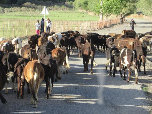 17:30 Uhr, um diese Zeit werden die Tiere zurück in den Stall getrieben