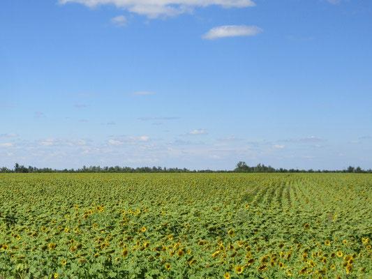 Sonnenblumenfelder soweit das Auge reicht
