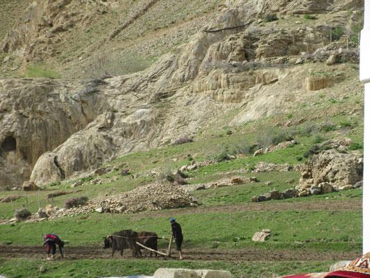 Gepflügt wird im Pamir noch mit den Kühen oder Yacks
