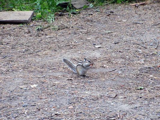 Die Streifenhörnchen sind wie  bei uns die Eichhörnchen