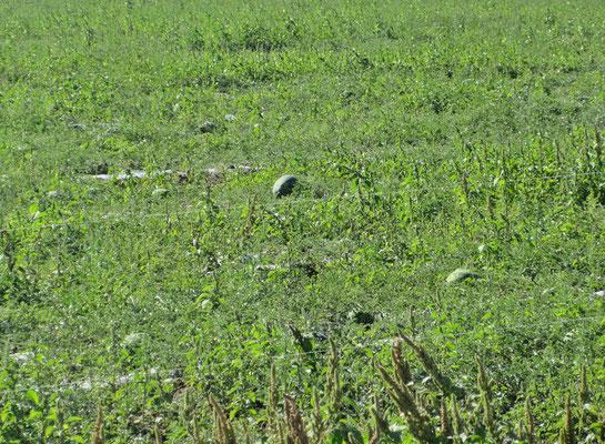 Melonenfeld im südlichen Sibirien, (als ich vom Feld die kleinste Melone ausgelesen und bezahlt Fr.0.40 hatte, schenkte mir die Bäuerin noch eine zusätzliche Melone)