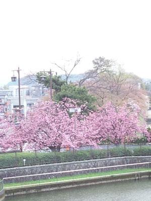 春爛漫 目の前は遅咲きの八重桜が満開に