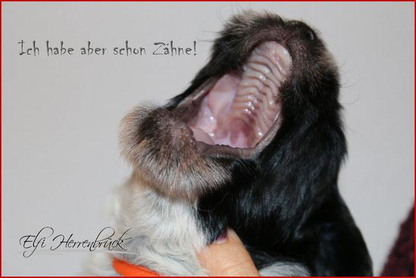 Schapendoes Welpen V- Wurf