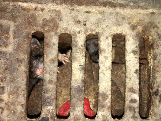 Eindringende Ratten durch defekte Rückstauklappen