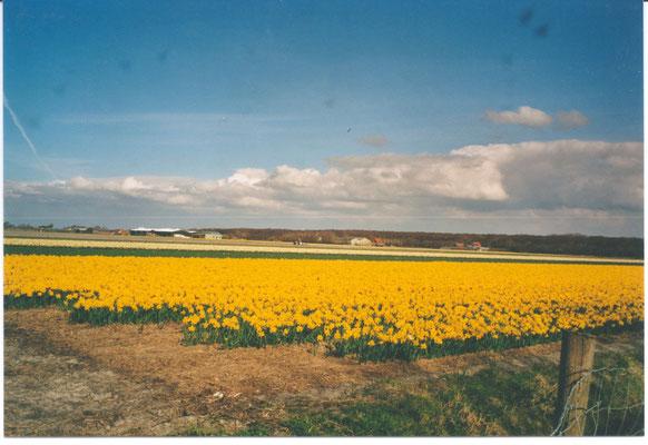 Eins der vielen Tulpenfelder