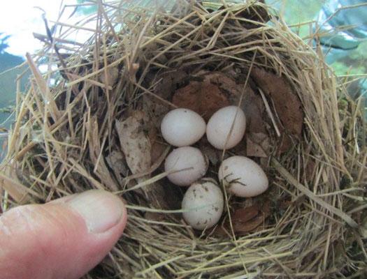 Ein Blick in ein Nest mit Eiern