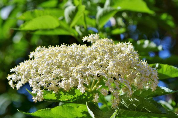 Holunder (Blüten)