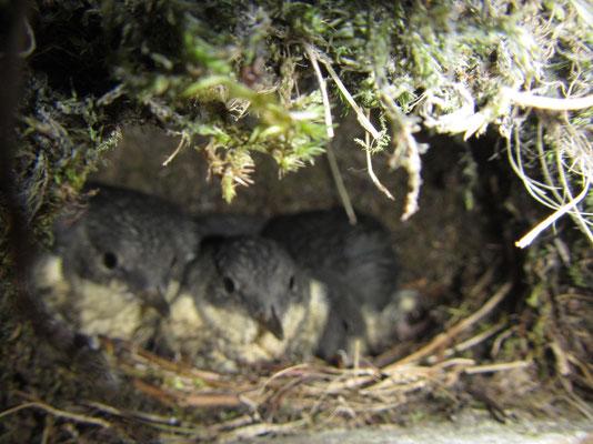 Wasseramsel-Nachwuchs im Nest