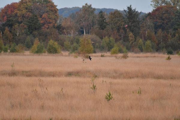 Nachdem nun auch die Krähen attackieren, fliegt der Habicht zu einer Kiefer.