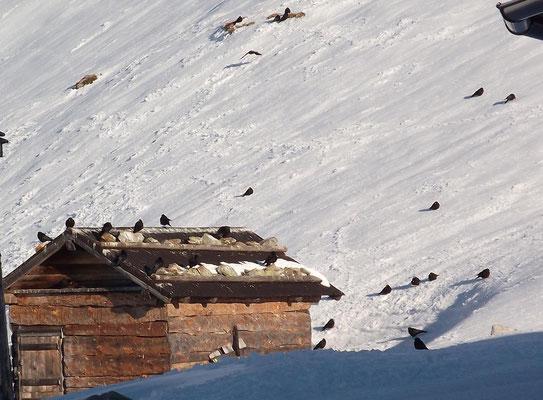 Alpendohle im deutschen Hochgebirge