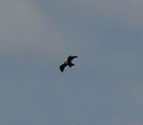 Seeadler im Landeanflug
