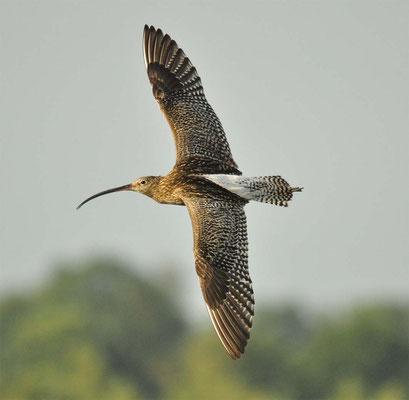 Brachvogel (Großer)/ Recker Moor