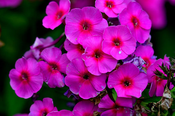 Phlox in Wersen