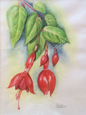 Fuchsia in Aquarell