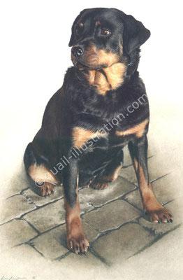 Rottweiler in Gouache