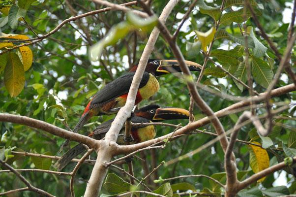 Tiere Pantanal Brasilien Tukan