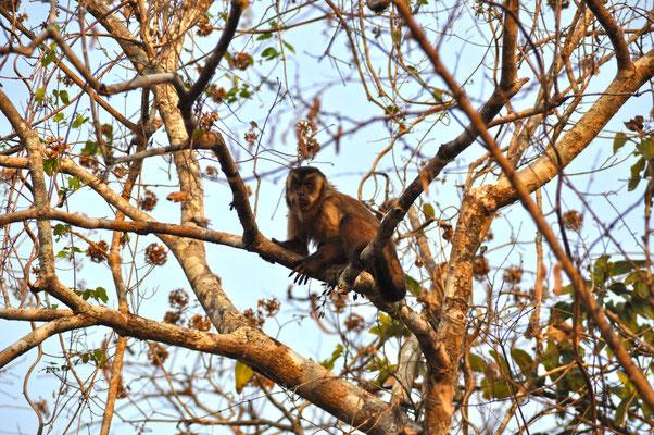 Tiere Pantanal Brasilien Kapuziner