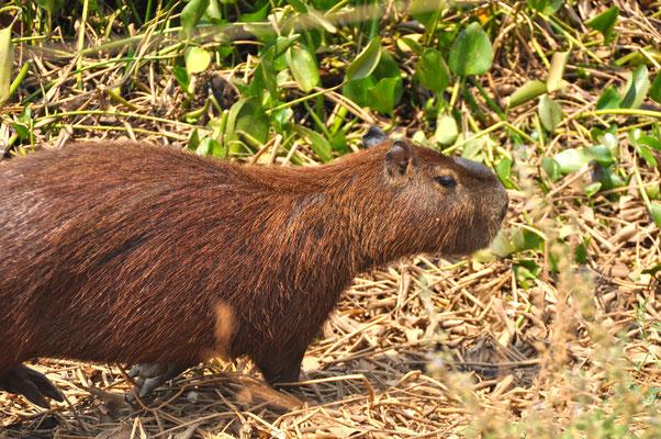 Tiere Pantanal Brasiliein