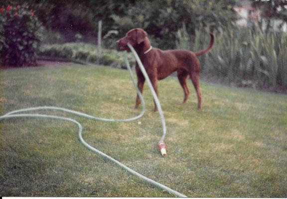 Woef :geboren Mei 1979  Overleden: dec 1980 We bleken een zieken hond uit het asiel gehaald te hebben maar hij is niet oud mogen worden