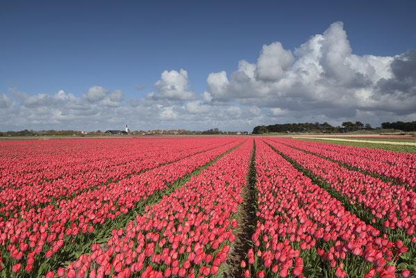 Tulpenfeld bei Den Hoorn