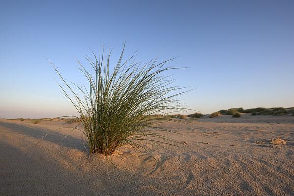 Einzelner Grasbusch im Dünengebiet De Hors