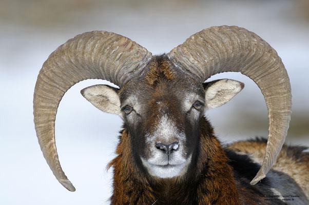 Mufflon (Ovis gmelini musimon), Portrait (c)
