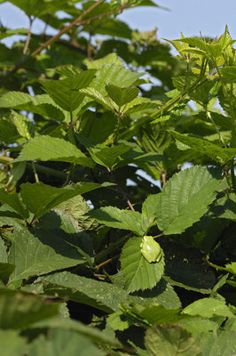 Laubfrosch (Hyla arborea)