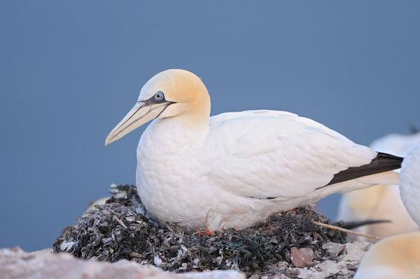 Basstölpel auf dem Nest