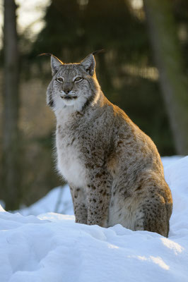 Luchs im Winter (c)