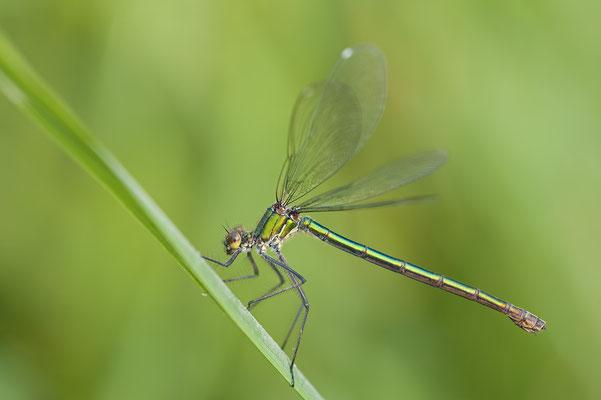 Gebänderte Prachtlibelle, Weibchen (Calopteryx splendens)