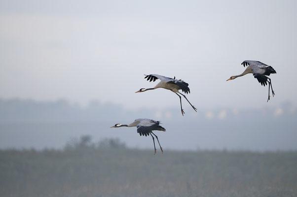 Kranichfamilie bei der Landung, Günzer See (D)