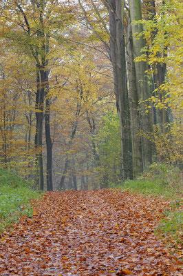 Weg im Buchenwald (D)