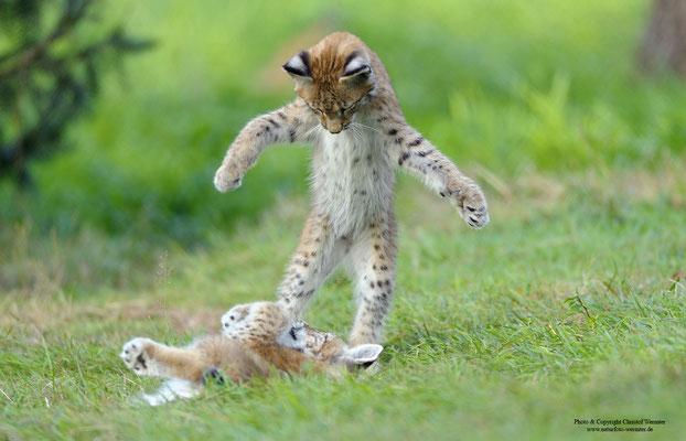 Luchs ( Lynx lynx) Jungtiere (c)