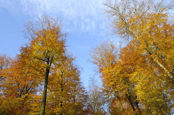 Buchen im Herbst