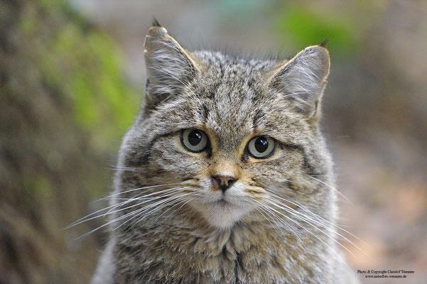 Wildkatze (Felis sylvestris) Portrait (c)