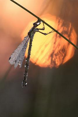 Gemeine Binsenjungfer (Lestes sponsa)