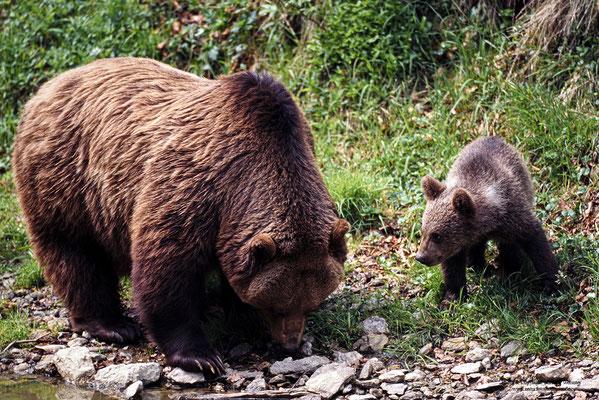 Braunbär (Ursus arctos) mit Jungtier (c)