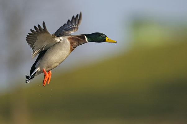 Stockente (Anas platyrhynchos), Erpel im Flug