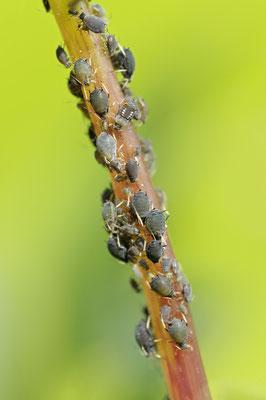 Blattläuse (Aphidoidea spec.)