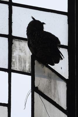 Uhu (Bubo bubo), ruht auf einem offenen Fenster