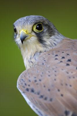 Turmfalke (Falco tinnunculus), Terzel (C)