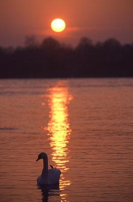 Höckerschwan bei Sonnenuntergang