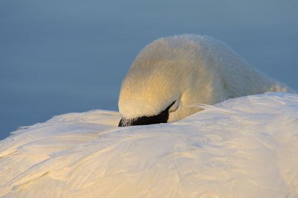 Schlafender Höckerschwan
