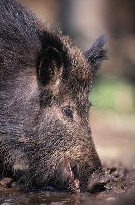 Wildschwein bei der Nahrungssuche (c)