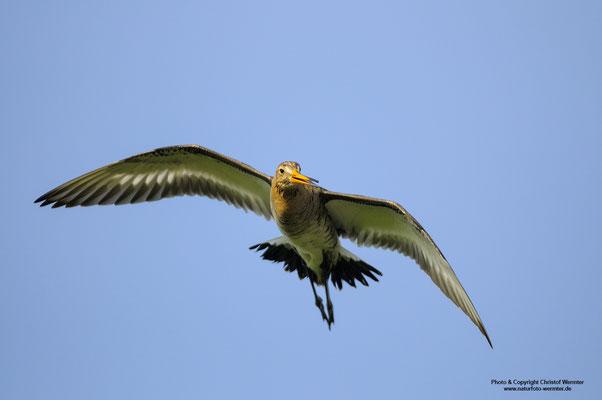 Uferschnepfe (Limosa limosa) im Flug