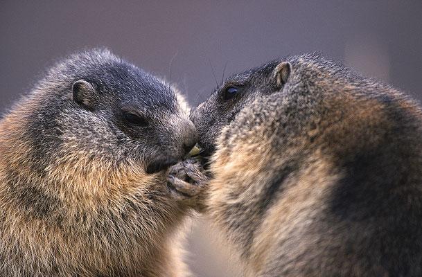 Junge Murmeltiere streiten um Futter